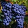 Buscan resurgir industria vinícola en Chihuahua