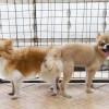 ¿Por qué los perros se quedan pegados después de aparearse?