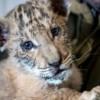 Nació cruza de león y tigresa en Rusia