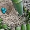 Encuentran huevos azules en Municipio de Rosales